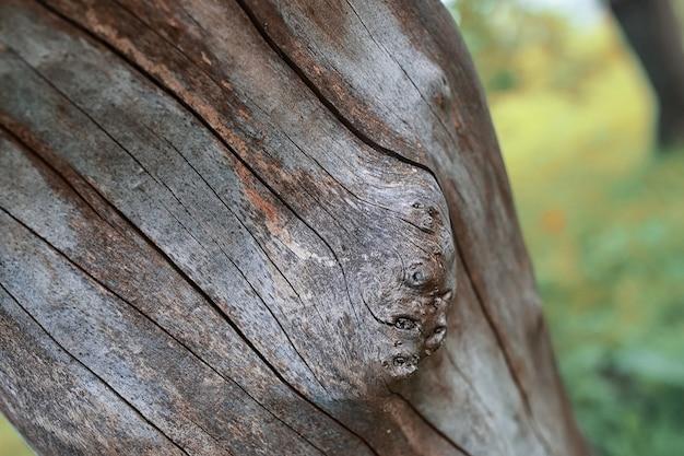 Stare, teksturowane wyschnięte drzewo na początku wiosny