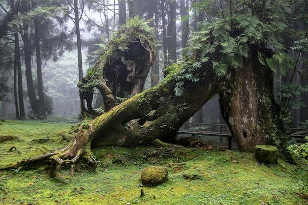 Stare wielkie drzewo w parku narodowym alishan na tajwanie.