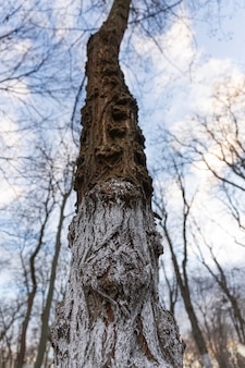 Stare wysokie drzewo bez liści w zimowym parku miejskim. miasto europejskie.