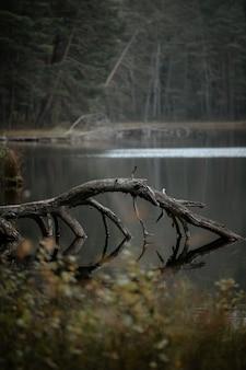 Stare złamane omszałe drzewo nad jeziorem w jesiennym lesie
