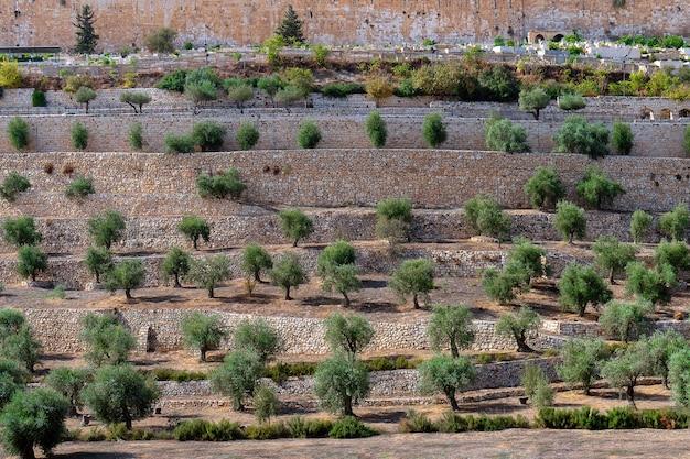 Starożytne tarasy doliny cedron z pięknymi drzewami oliwnymi rosnącymi na starym mieście w jerozolimie w izraelu