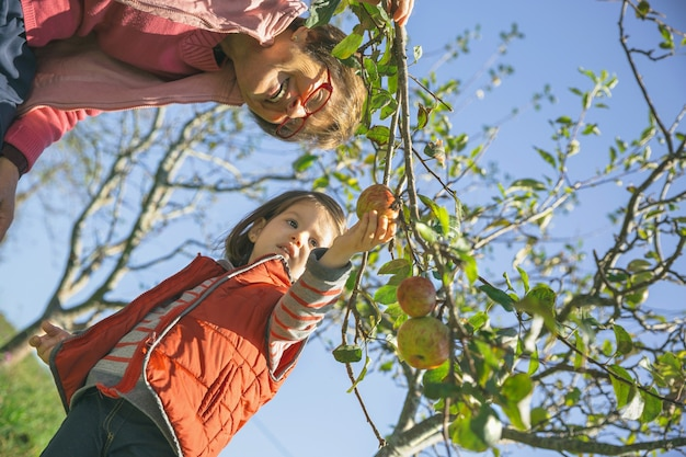Starsza kobieta i urocza dziewczynka zbierając świeże organiczne jabłka z drzewa w słoneczny jesienny dzień. dziadkowie i wnuki koncepcja czasu wolnego.