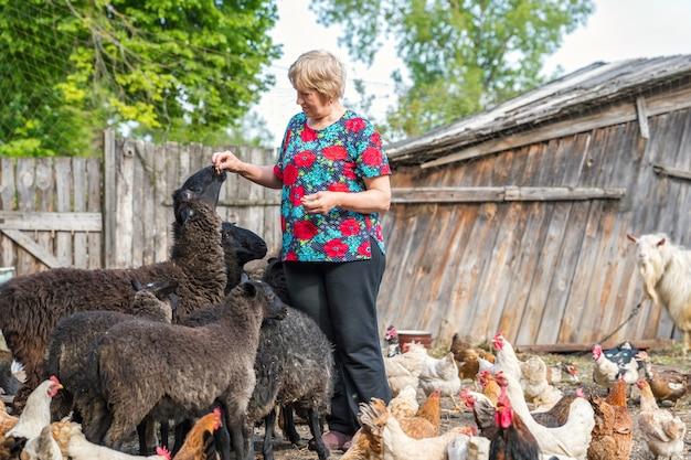 Starsza kobieta na gospodarstwie domowym karmi owce
