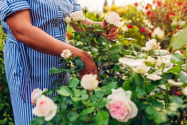 Starszy kobiety ogrodnik zbiera róże kwitnie w ogródzie. kobieta w średnim wieku odcina róże za pomocą sekatora. prace ogrodowe