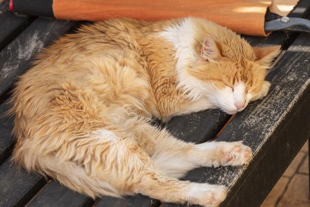 Starszy kot norweski leśny odpoczywa w słońcu