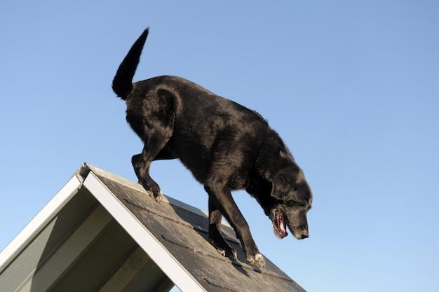 Starszy labrador retriever w zwinności