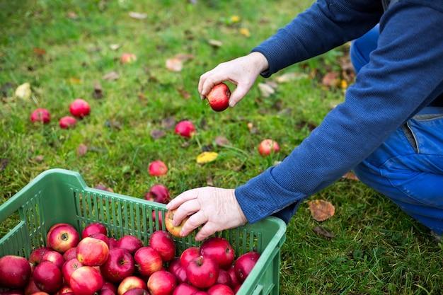 Starszy mężczyzna do zbioru jabłek jesienią