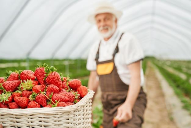 Starszy mężczyzna zbiera dojrzałe soczyste czerwone truskawki