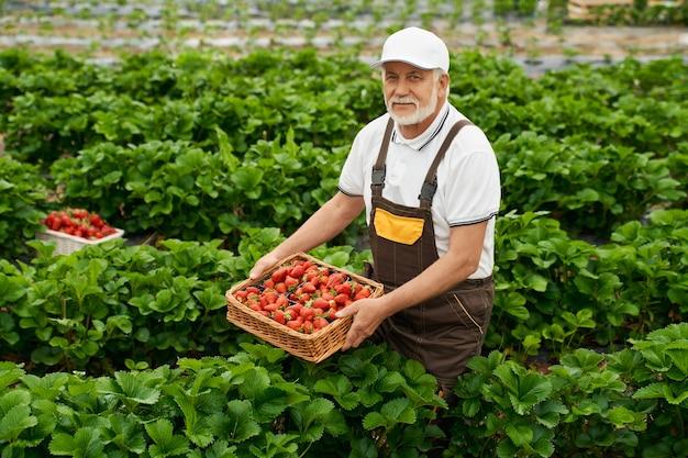 Starszy mężczyzna zbiera smaczne dojrzałe czerwone truskawki w koszyku