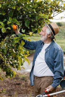 Starszy mężczyzna zbiera świeże soczyste pomarańcze