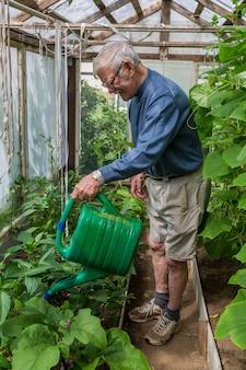 Starszy ogrodnik mężczyzna traktuje pomidory nawozem przeciwko czernieniu i mączniakowi prawdziwemu
