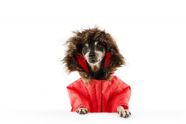 Starszy pies ubrany w ciepły płaszcz zimowy lub anorak na mroźną zimę.