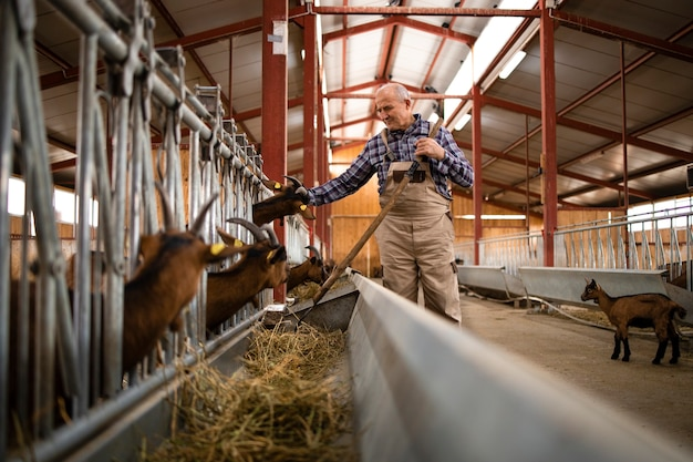 Starszy rolnik karmi zwierzęta domowe na farmie kóz ekologiczną żywnością siana