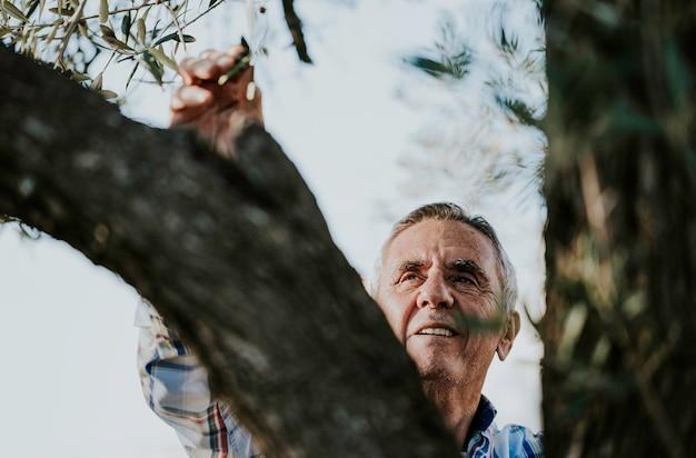 Starszy uśmiechnięty szary włosiany mężczyzna zbiera organicznie oliwki