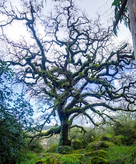 Stary bezlistny dąb w lesie z błękitnym niebem