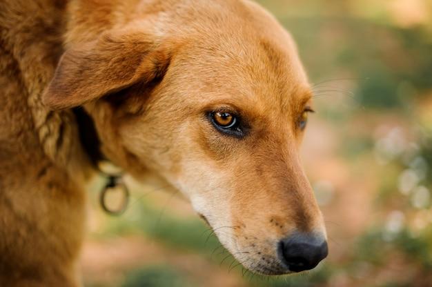 Stary brązowy imbir bezdomny pies szuka