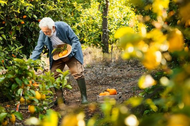 Stary człowiek stojący obok swoich drzew pomarańczowych