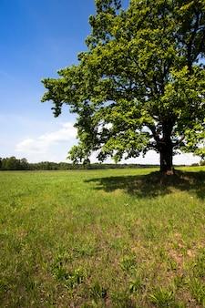 Stary dąb rosnący na polu z trawą. lato w roku