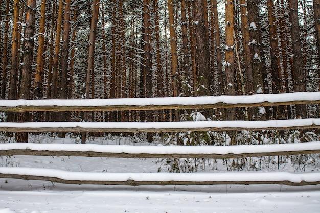 Stary drewniany płot i gęsty sosnowy las w zimie