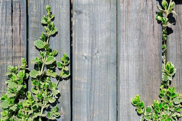 Stary drewniany płot i młode gałązki rośliny z zielonymi liśćmi. naturalne tło. miejsce na tekst.