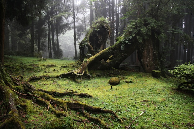 Stary duży drzewo przy alishan parka narodowego terenem w tajwan