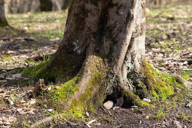 Stary gruby korzeń drzewa