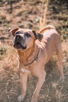 Stary i brązowy pies rasy urugwajskiej cimarron cieszący się słonecznym dniem w parku