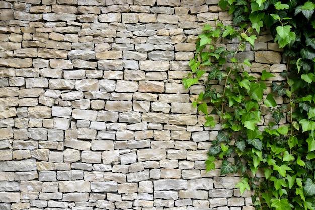 Stary kamienny mur z bluszczem jako tło