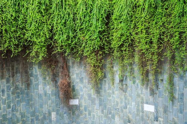Stary kamienny mur z zielonym bluszczem