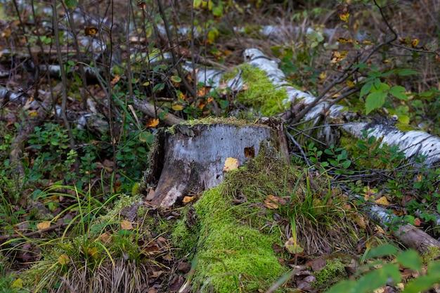 Stary kikut porośnięty mchem w jesiennym lesie