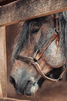 Stary koń z rzemiennym thun kantarem i ołowiany patrzeć przez drewnianego ogrodzenia