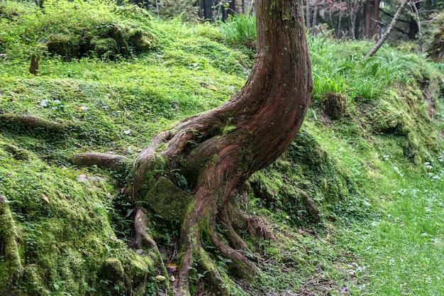 Stary korzeniowy duży drzewo przy alishan parka narodowego terenem na tajwan.
