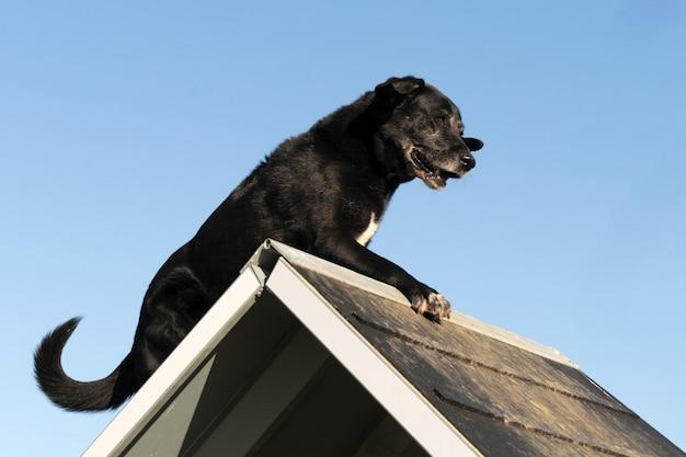 Stary labrador retriever w zwinności