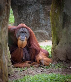 Stary mądry orangutan spoczywa pod drzewem