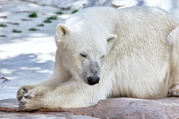 Stary niedźwiedź polarny w swoim naturalnym środowisku.