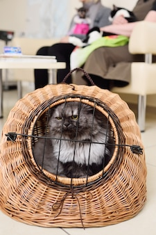 Stary piękny kot siedzi w koszyku zwierząt na tle kliniki weterynaryjnej.