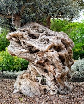 Stary pień drzewa oliwnego, korzenie i gałęzie, tło