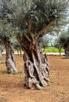 Stary pień drzewa oliwnego, korzenie i gałęzie