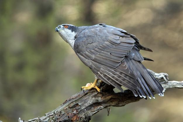 Stary samiec jastrzębia północnego, accipiter gentilis