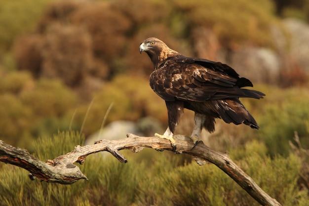 Stary samiec orła przedniego