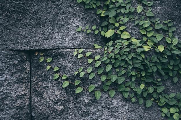 Stary ściana z cegieł z bluszcz rośliną