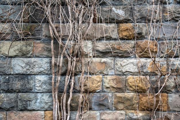 Stary starodawny szary tekstura ceglany mur z martwych roślin liany.