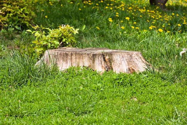 Stary suchy pień ze ściętego drzewa, na tle zielonej trawy i liści nowych drzew