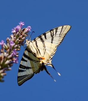 Stary świat swallowtail na lawendowych kwiatach