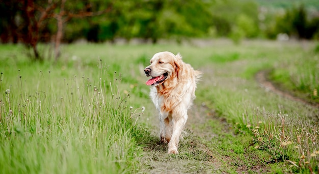 Stary uroczy pies rasy golden retriever spacerujący po naturze z wyjętym tonkiem