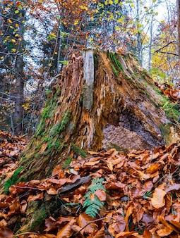 Stary zgniły kikut posypany wielobarwnymi opadłymi liśćmi w gęstym jesiennym lesie i zielonej pleśni