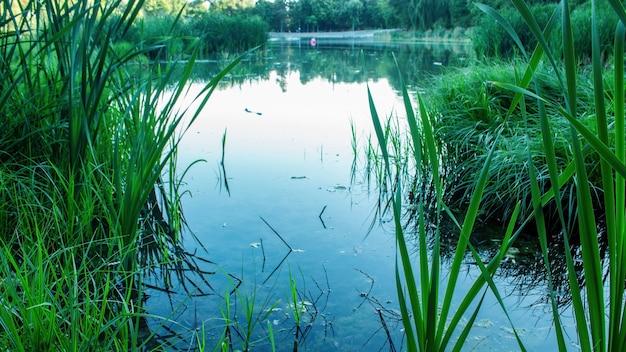 Staw, który zamienia się w jezioro z dużą ilością trzciny i zieleni wokół kiszyniowa w mołdawii