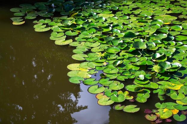 Staw z pięknymi liliami wodnymi w parku. z odbiciem drzew w wodzie. jasne słonecznie