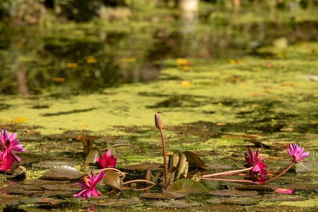 Staw z płatkami lilii. ważka siedzi na lilii wodnej. centrum mokradeł w rezerwacie sungei buloh wetland reserve.
