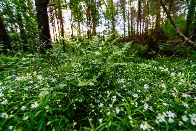 Stellaria holostea kwitnienie na łące i paproci w lesie na wiosnę